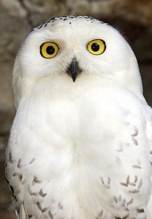 France ,chouette harfang ( Bubo scandiacus ), zoo //France ,Snowy Owl ( Bubo scandiacus ) ,zoo