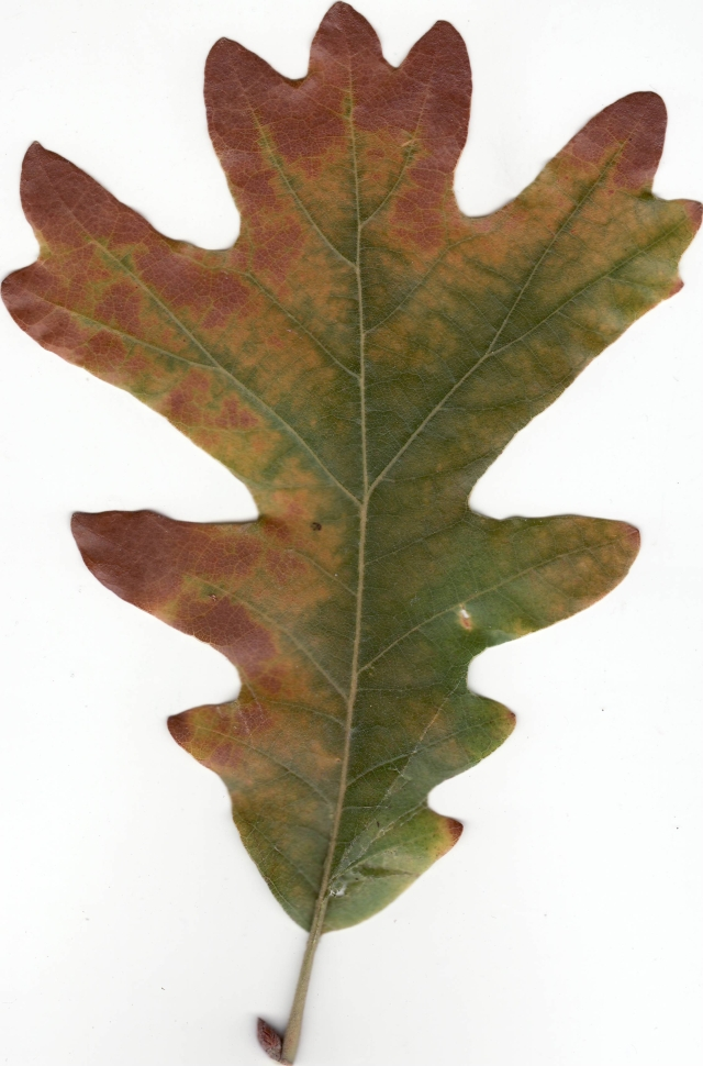 Autumn_White_Oak_Leaf