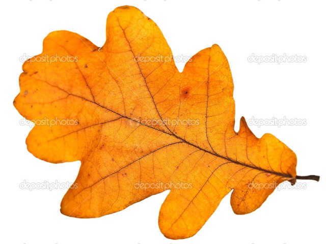 yellow autumn oak leaf over the white background