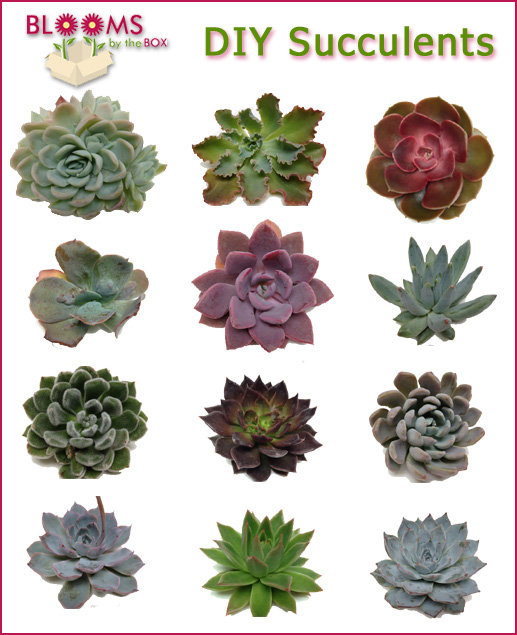 Succulents-from-BloomsByTheBox