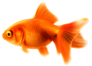 Goldfish_PNG_Clipart-435.png