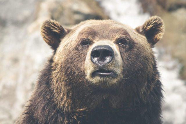 bear-poly.jpg